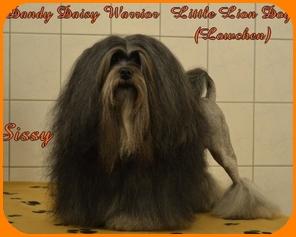 Lowchen breeder  Dandy Daisy Warrior Lowchen dogs, Lowchen overview,